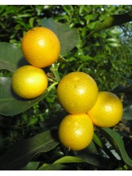 Кумкват мейва (Sweet Kumquat 'Meiwa', Fortunella crassifolia)